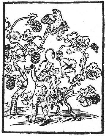 winnalatorosl-ilustracja-z-h.-spiczynski-o-ziolach-tutecznych-i-zamorskich-krakow-1542