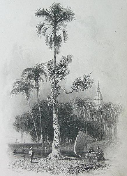 1837 Stary rysunek palmy W. Daniell