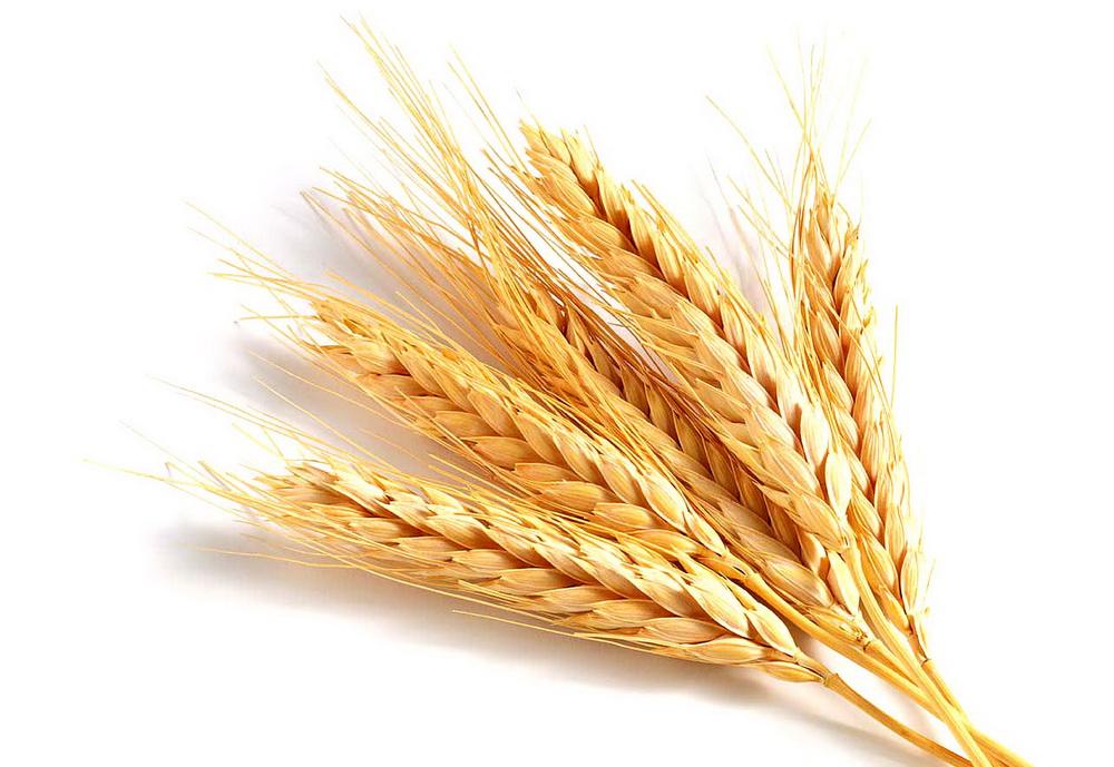 Dibujo Del Grano De Trigo: Sposoby Przeróbki żyta I Mąki żytniej